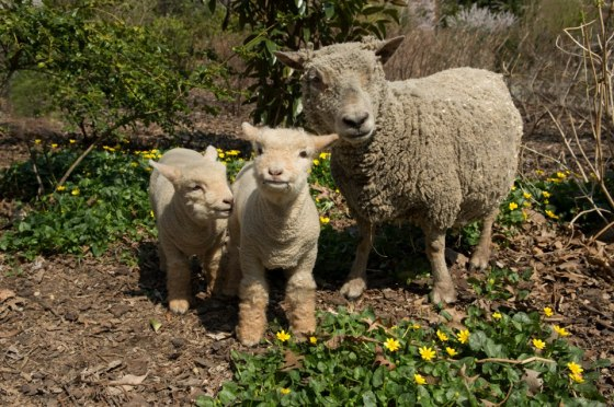 prospect-lambs